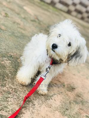 3-6 Month Male Purebred Lhasa Apso | Dogs & Puppies for sale in Edo State, Benin City