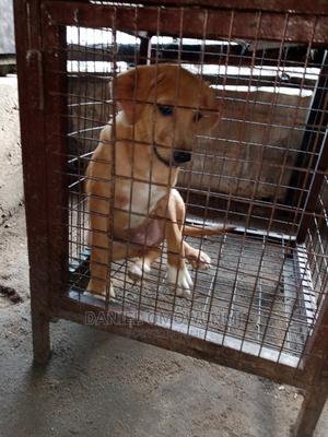 1-3 Month Male Purebred Boerboel | Dogs & Puppies for sale in Lagos State, Shomolu