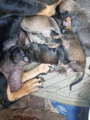 0-1 Month Female Mixed Breed Boerboel | Dogs & Puppies for sale in Lagos State, Ojo
