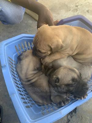 1-3 Month Male Purebred Boerboel | Dogs & Puppies for sale in Lagos State, Surulere