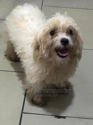 6-12 Month Female Purebred Maltese | Dogs & Puppies for sale in Lagos State, Ajah