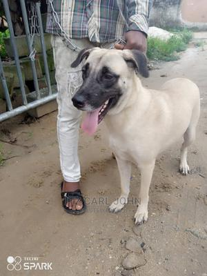1+ Year Female Mixed Breed Boerboel | Dogs & Puppies for sale in Rivers State, Obio-Akpor