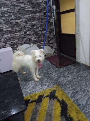 3-6 Month Female Purebred American Eskimo | Dogs & Puppies for sale in Lagos State, Victoria Island