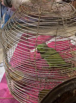 Beautiful Lovebird Parrot | Birds for sale in Lagos State, Ikeja