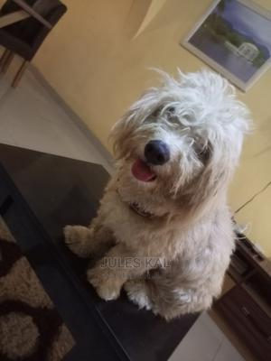 1+ Year Male Purebred Lhasa Apso | Dogs & Puppies for sale in Abuja (FCT) State, Karu