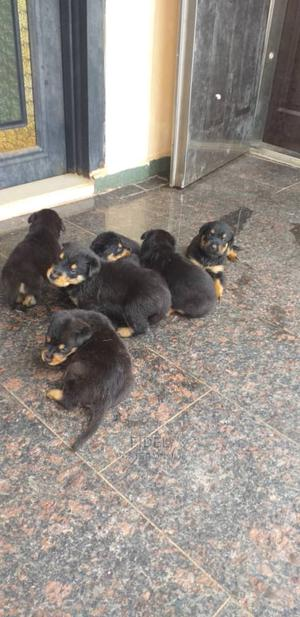1-3 Month Male Mixed Breed Rottweiler | Dogs & Puppies for sale in Anambra State, Awka