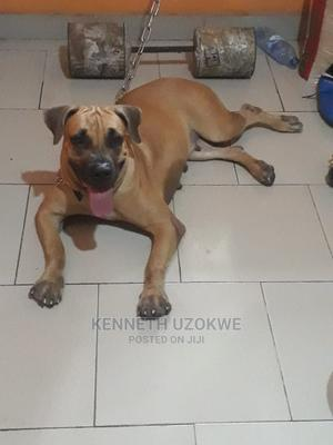 1+ Year Female Purebred Boerboel | Dogs & Puppies for sale in Lagos State, Amuwo-Odofin