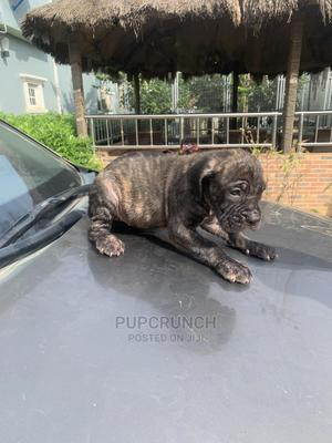 1-3 Month Female Purebred Boerboel | Dogs & Puppies for sale in Abuja (FCT) State, Gwarinpa