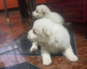 0-1 Month Female Purebred Samoyed | Dogs & Puppies for sale in Lagos State, Alimosho