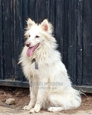 6-12 Month Male Purebred American Eskimo | Dogs & Puppies for sale in Oyo State, Ibadan