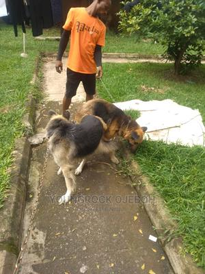 0-1 Month Male Purebred German Shepherd   Dogs & Puppies for sale in Abuja (FCT) State, Jabi
