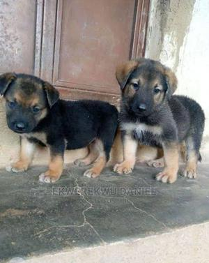 1-3 Month Female Purebred German Shepherd   Dogs & Puppies for sale in Ondo State, Akure