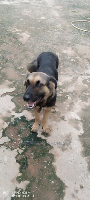 0-1 Month Female Purebred German Shepherd   Dogs & Puppies for sale in Edo State, Benin City