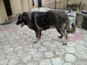 1+ Year Female Purebred Caucasian Shepherd   Dogs & Puppies for sale in Lagos State, Ikorodu