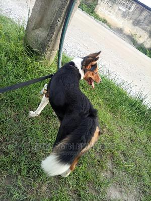 1+ Year Female Mixed Breed Rottweiler | Dogs & Puppies for sale in Lagos State, Lekki