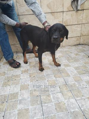 1+ Year Female Purebred Rottweiler | Dogs & Puppies for sale in Imo State, Owerri