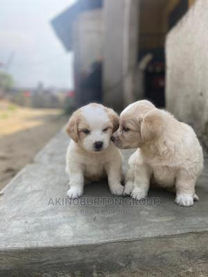 0-1 Month Male Mixed Breed Lhasa Apso | Dogs & Puppies for sale in Rivers State, Port-Harcourt