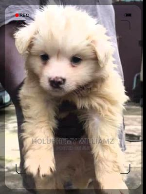 1-3 Month Male Purebred American Eskimo   Dogs & Puppies for sale in Lagos State, Kosofe