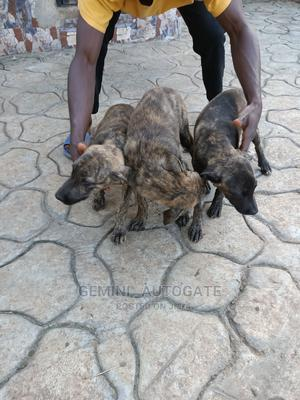 3-6 Month Female Purebred Boerboel | Dogs & Puppies for sale in Lagos State, Ipaja
