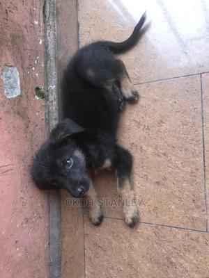 1-3 Month Male Mixed Breed German Shepherd | Dogs & Puppies for sale in Delta State, Warri