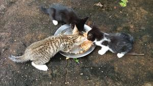 1-3 Month Male Mixed Breed American Shorthair | Cats & Kittens for sale in Abia State, Obi Ngwa
