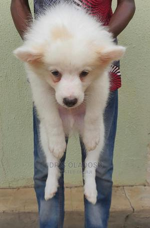 1-3 Month Male Purebred American Eskimo   Dogs & Puppies for sale in Oyo State, Ogbomosho North
