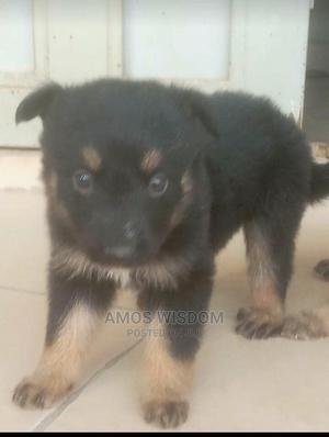 1-3 Month Male Mixed Breed German Shepherd | Dogs & Puppies for sale in Abuja (FCT) State, Mpape