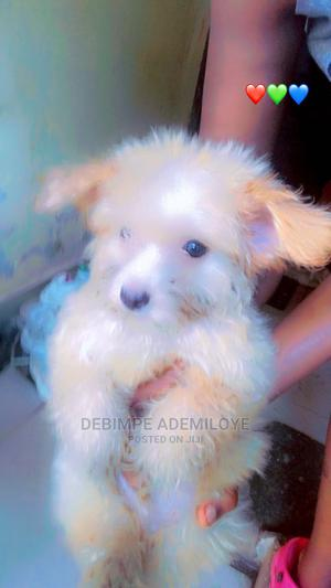 1-3 Month Male Purebred Lhasa Apso | Dogs & Puppies for sale in Lagos State, Ikeja