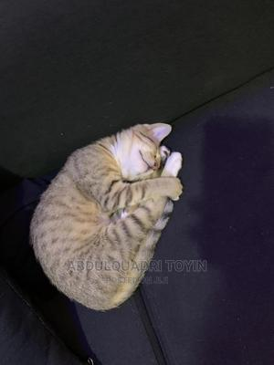 1-3 Month Female Purebred American Shorthair | Cats & Kittens for sale in Kwara State, Ilorin East