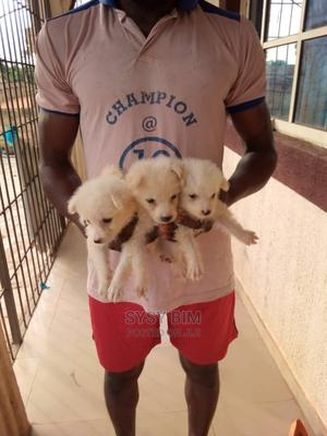 1-3 Month Female Purebred American Eskimo | Dogs & Puppies for sale in Osun State, Ife