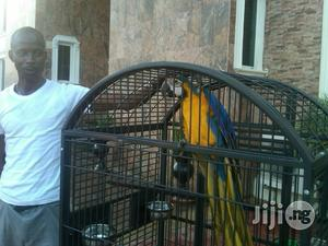 Blue And Gold Macaw Parrot | Birds for sale in Lagos State